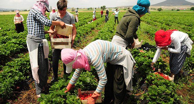 Nevşehir'den Arap ülkelerine çilek ihracı
