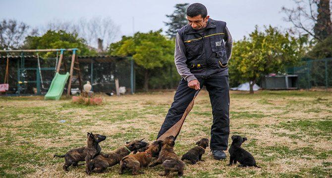 Yavru köpekler operasyon için eğitilecek