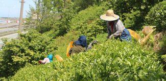 Çay hasadında, benzinli çay toplama makinesine yasak