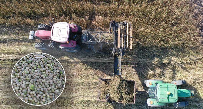 Sivas'ta izinli ilk kenevir hasadı | Korkusuz Gazetesi